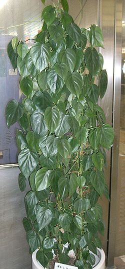 Philodendron scandens subsp oxycardium1.jpg