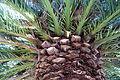 Phoenix canariensis - Leaning Pine Arboretum - DSC05709.JPG