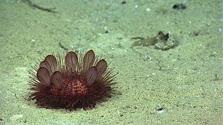 <i>Phormosoma placenta</i> Species of sea urchin