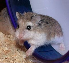 Photo of Roborovski Hamster.jpg