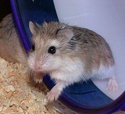 Photo of Roborovski Hamster.jpg