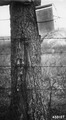 Photograph of Walnut Trees Degraded by Wire Fencing - NARA - 2129597.tif