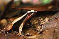 Physalaemus olfersii - Botelho.jpg