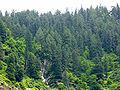 Picea smithiana Vashist 3.jpg