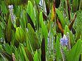 Pickerel Weed - Flickr - treegrow.jpg