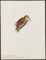 Picolaptes souleyetii - 1820-1860 - Print - Iconographia Zoologica - Special Collections University of Amsterdam - UBA01 IZ19200271.tif