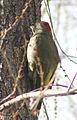 Picus viridis sharpei 049.jpg