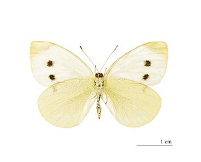 Description de l'image  File:Pieris rapae MHNT ventre.jpg.