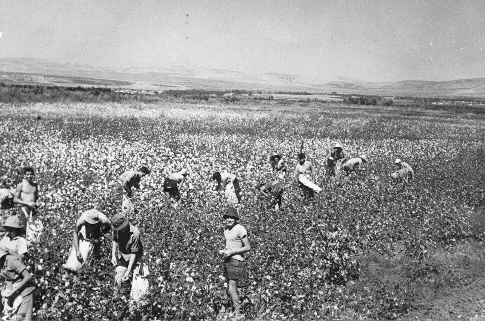 PikiWiki Israel 3290 Picking Cotton