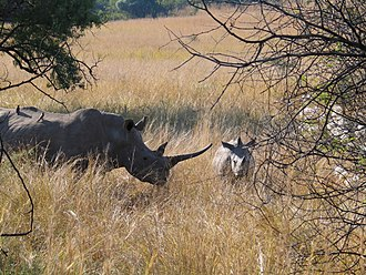 Pilanesberg Game Reserve - A pair of white rhinoceros in Pilanesberg Game Reserve