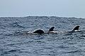 Pilot Whales (24048842860).jpg