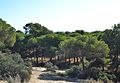Pineda, dunes de Guardamar del Segura.JPG