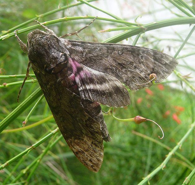File:Pink-spotted Hawkmoth. Agrius cingulatus. Sphingidae - Flickr - gailhampshire.jpg
