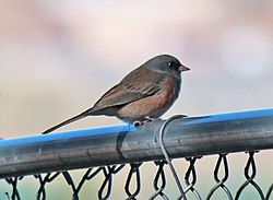 meaning of junco