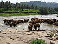 Pinnawala Elephant Orphanage 72.JPG