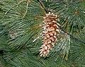 Pinus ayacahuite cones 1.jpg
