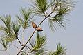 Pinus brutia - Turkish pine 01.jpg