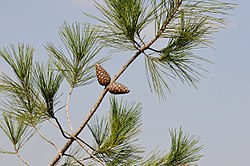 Pinus brutia - Turkish pine 01.jpg