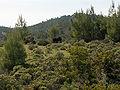 Pinus brutia Rhodes.jpg