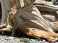 Pinus longaeva 16.jpg