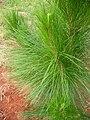 Pinus oocarpa.JPG