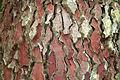 Pinus pinaster JPG2.jpg