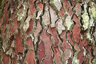 Pinus pinaster - Bark of Pinus pinaster.