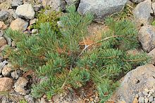 Pinus pumila young tree.JPG