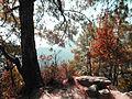 Pinus roxburghii in Sindhuli Nepal.JPG