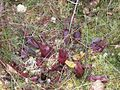 Pitcher Plant (Sarracenia purpurea ssp. purpurea) (6185845752).jpg