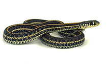 Plains gartersnake.jpg