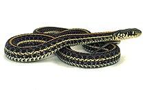Plains Garter Snake Wikipedia