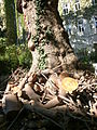 Plane tree Guneschgasse 4 02.JPG