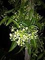 Plants at Bijalinagar 21.jpg