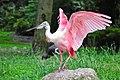 Platalea ajaja (Rosalöffler - Spoonbill) - Weltvogelpark Walsrode 2010.jpg