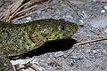 Pleurodeles waltl 01 by-dpc.jpg