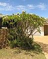 Plumeria unidentified garden variety of frangipani IMG 4572s.jpg