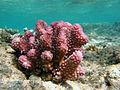 Pocillopora verrucosa Réunion.jpg