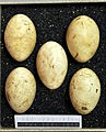 Podiceps auritus MWNH 0133.JPG