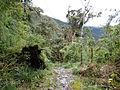 Podocarpus Ecuador210.JPG