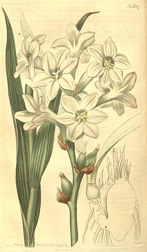 Polianthes tuberosa.jpg