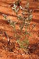 Polycarpea corymbosa.jpg