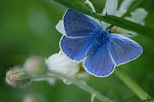 Blauer_Schmetterling