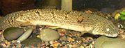 Polypterus weeksii 4.jpg