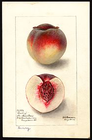 Peach (cultivar 'Berry') - watercolor 1895