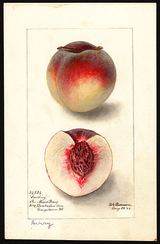 Pomological Watercolor Collection - Watercolor by Deborah Griscom Passmore of Berry variety of peach (Prunus persica), 1905.