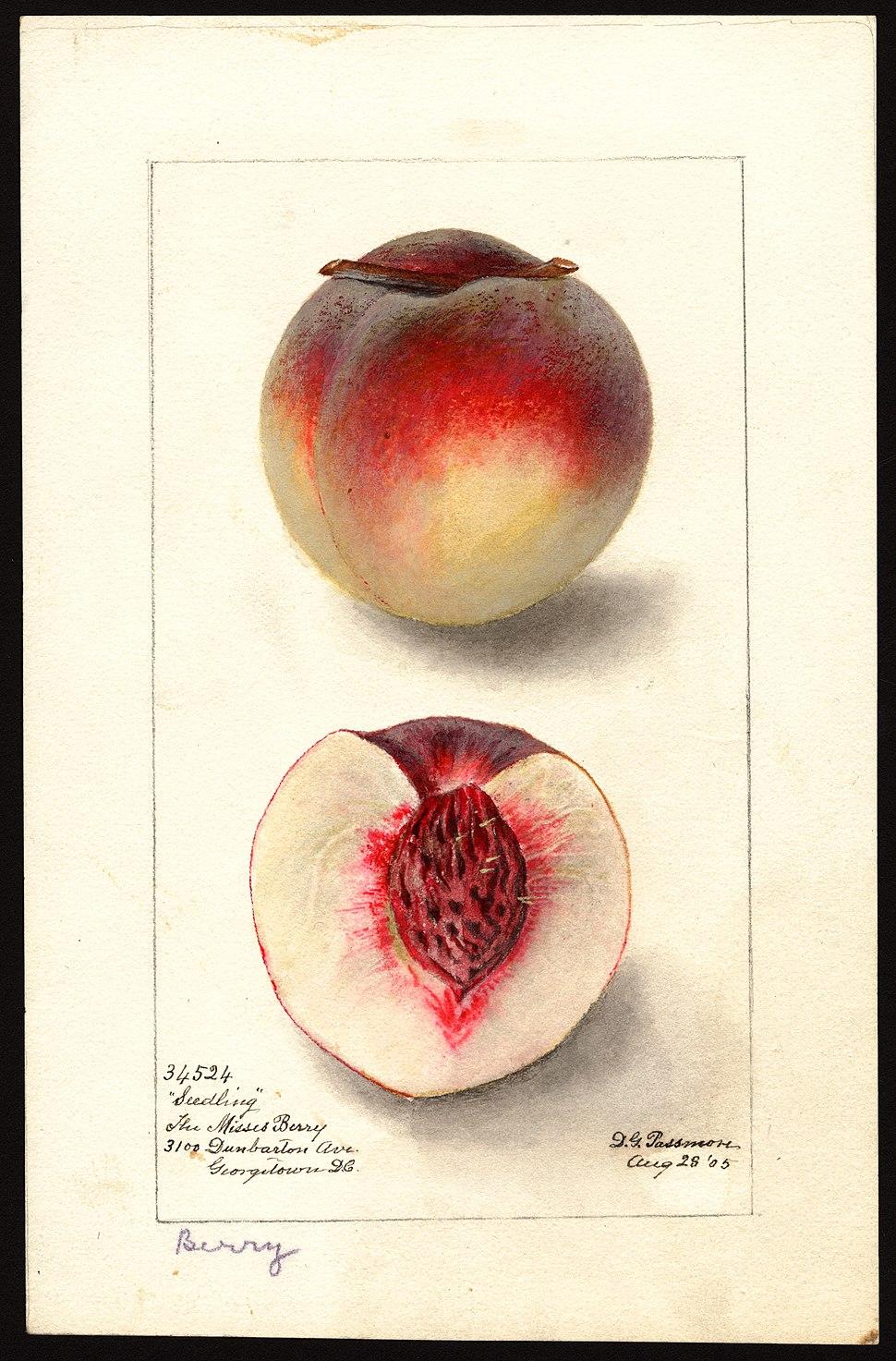 Pomological Watercolor POM00005183