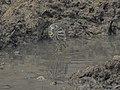 Pond heron 02.jpg