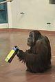 Pongo abelii at the Philadelphia Zoo 002.jpg