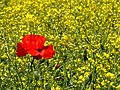 Poppy in the crops - geograph.org.uk - 1338469.jpg
